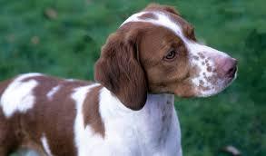 brittany dog breed information