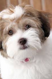 Non Shedding Small Dogs Uk by Best 25 Small Puppies For Sale Ideas On Pinterest Tiny Dogs For