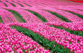 buy tulip bulbs starting at only 筌0 81 竄ャ0 95 the package