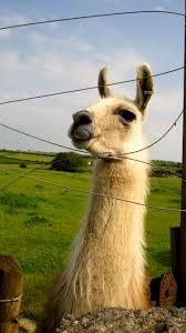 Wheatfield Pumpkin Farm North Tonawanda Ny by 81 Best Llama Luvs Images On Pinterest Llama Llama Camels And