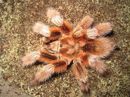 Do Tarantulas Shed Their Fangs by Best 25 Rose Hair Tarantula Ideas On Pinterest Rose Tarantula