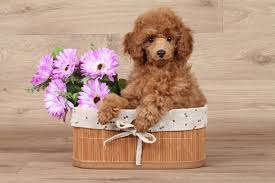 Do Hypoallergenic Dogs Still Shed by Hypoallergenic Dogs 5 Cool Facts Fetch Pet Care
