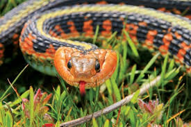 Watchable Wildlife Red Spotted Garter Snake