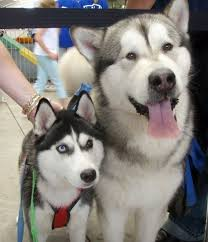 what are the differences between malamutes and huskies especially