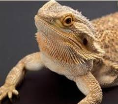 bearded dragon pet resource center