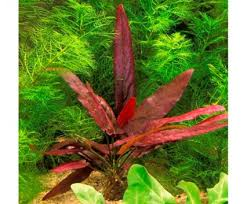 all you need to about bulb plants practical fishkeeping