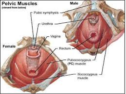 Muscles Of The Pelvic Floor Male by Contents Of Male And Female Perineal Pouches Copy