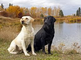 Do Black And Tan Coonhounds Shed by Labrador Retriever All Big Dog Breeds