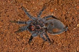Do Tarantulas Molt Upside Down by Things Biological Insects Macrophotography Teaching Life Page 9