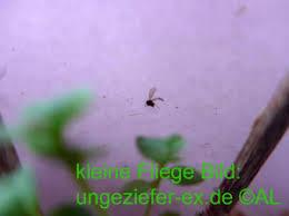 kleine fliegen wie minifliegen im haus loswerden info 2021