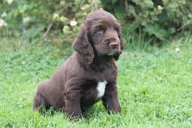 Springer Spaniel Shed Hunting by 100 Boykin Spaniel Shed Hunting Filed Spaniel Doginfo