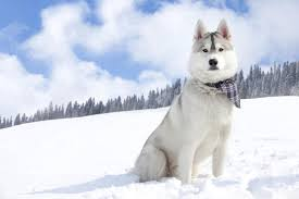 Non Shedding Small Dog Breeds List by These 10 Dog Breeds Look So Much Like Wolves Really