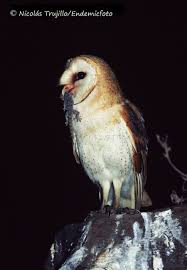 GOHNIC - Temporal Diet Variation Of A Barn Owl Insular Population Barn Owl Eating Mouse Sussex Uk Tyto Alba Stock Photo Royalty Bird Of The Month Owl Barn A Free Image 51931121 How To Attract Owls Your Yard 1134 Best Birdsstrigiformesowls Images On Pinterest Wikipedia Facts Pictures Diet Breeding Habitat Behaviour Eating Picture And 1861 Owls Snowy Saw Whets Chick Raptor Conservancy Virginia Baby And Animal