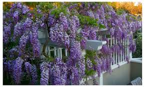planting wisteria in a pot amethyst falls wisteria vine live plant 3 inch pot groupon