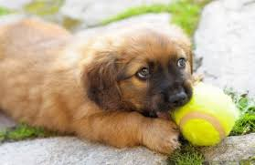 Miniature Dog Breeds That Dont Shed by 100 Which Dogs Dont Shed 20 Of The Best And Worst Dogs For