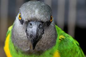 The Worlds Most Traded Wild Birds Senegal Parrots Color Morphs