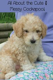best 25 small hypoallergenic dogs ideas on pinterest small
