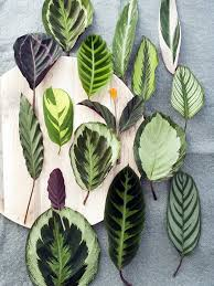 calathea pflanzenfreude