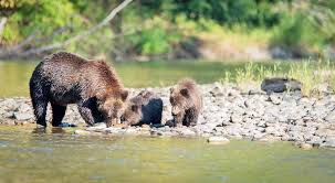 B.C. Man Drives To Hospital Following Grizzly Attack – 100 Mile ...