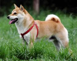 Do Shiba Dogs Shed by Shiba Inu Breed Information Pictures U0026 More