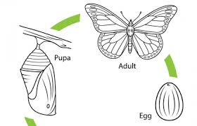 Life Cycle Of A Monarch Butterfly Coloring Page
