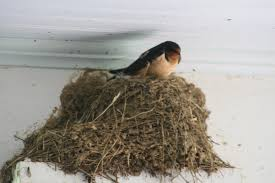 Barn Swallow (Hirundo Rustica) Becomes House Bird | Apothecary Shed Barn Swallow Hirundo Rustica Fledgling In Nest Stock Photo Chicks Almost Ready To Leave The The Life Of Filebarn Fledglings Nestling Siblings Near Its Three Young Hatchling Nests Seasons Flow Bird Nests A Website On Birds World Nestlings Nestwatch Sauvie Island 30 May 2013 John Rakestraw Words Birds Cservation And Research British Columbia