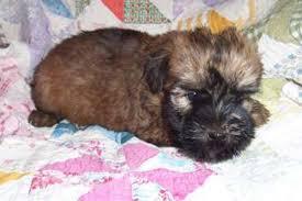 wheaten terrier for sale in manhattan manhattan puppies kittens