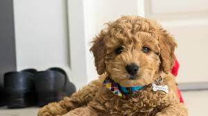 Small Non Shedding Dogs by 8 Things To Know About The Miniature Goldendoodle Mini
