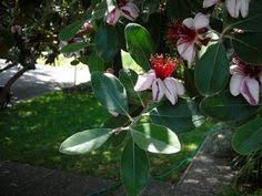 pineapple guava a great shrub for your edible landscape garden