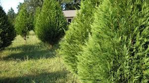 Leyland Cypress Christmas Trees Louisiana by Cypress Tree Wallpapers Wallpaper Cave