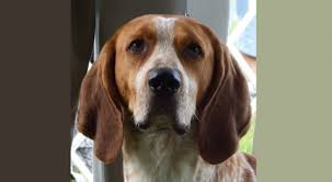 Do Treeing Walker Coonhounds Shed by American English Coonhound Dog Breed Information American Kennel