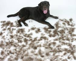 Siberian Cat Hair Shedding by What Breed Of Dogs Do Not Shed Hair Laura Williams