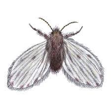 schädlinge schmetterlingsmücken bekämpfen anticimex