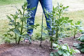 growing dahlias it s easy