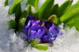 freeze how will it affect my flowering bulbs