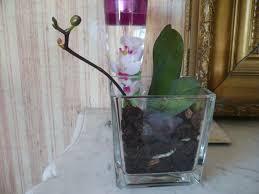 orchidée phalaenopsis naissance de hes florales orchidée