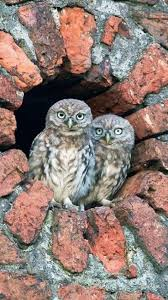 1938 Best Owls Images On Pinterest | Beautiful Owl, Nature And ... 55 Best Owl Images On Pinterest Barn Owls Children And Hunting Owls How To Feed Keep An Owlet Maya A Brief Introduction The Common Types Of Six Reasons Why You Dont Want An Owl As Pet Bird Introducing Gizmo Baby Whitefaced Youtube 2270 Animals 637 Oh Meine Uhus I Love Owls My Barn Cat Baby By Disneyqueen1 Deviantart All Things Nighttime Predator Cute Animals