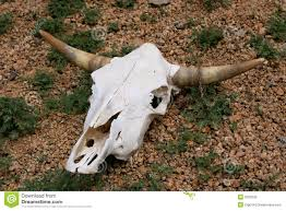 Decorated Cow Skulls Pinterest by Dead Cow Skull Google Search Skulls Pinterest Cow Skull