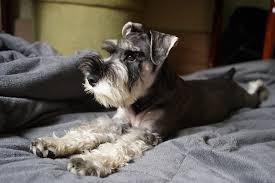 Do Giant Schnauzer Dogs Shed Hair by Miniature Schnauzer Dog Breed Information Facts And Faqs 2017