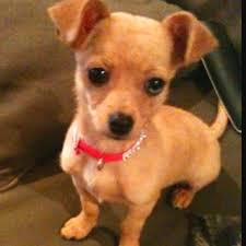 Do Long Haired Chiweenies Shed by 186 Best Chiweenies Dachshund Chihuahua Images On Pinterest