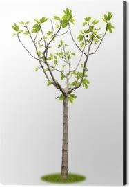 freigestellter junger feigenbaum mit früchten