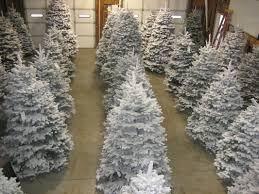 Fraser Fir Christmas Trees Care by Flocked Trees Palmer U0027s Christmas Trees