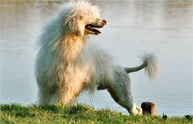 Small Non Shedding Dogs by 15 Dog Breeds That Absolutely Love The Water U2013 Iheartdogs Com
