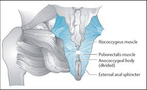 Muscles Of The Pelvic Floor Male by Anatomy And Physiology Of The Pelvic Floor Musculoskeletal Key