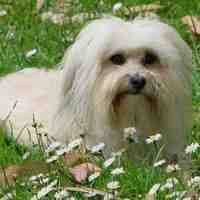 Shed Free Dogs Pictures by Dog Breeds That Don U0027t Shed Hypoallergenic Dogs