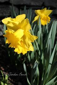 daffodils the garden bench