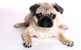 Do Pocket Puggles Shed by Pug Puppies Rescue Pictures Information Temperament