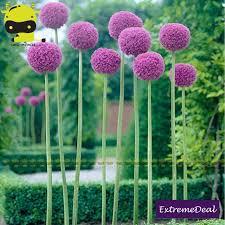 50 seeds allium globemaster allium giganteum flower