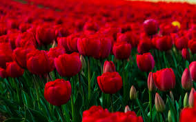 Free Beautiful Flowers Wallpapers For Desktop Hd Images Widescreen Background Of Mobile Phones