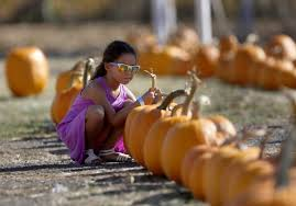 Pumpkin Patch Santa Rosa by Sonoma County Pumpkin Patch Owners Report Sales Slump In Fires U0027 Wake